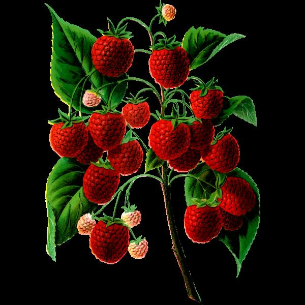 Plant Bearing Berries Free Svg