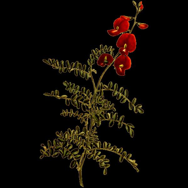 Bladder-Senna Flower