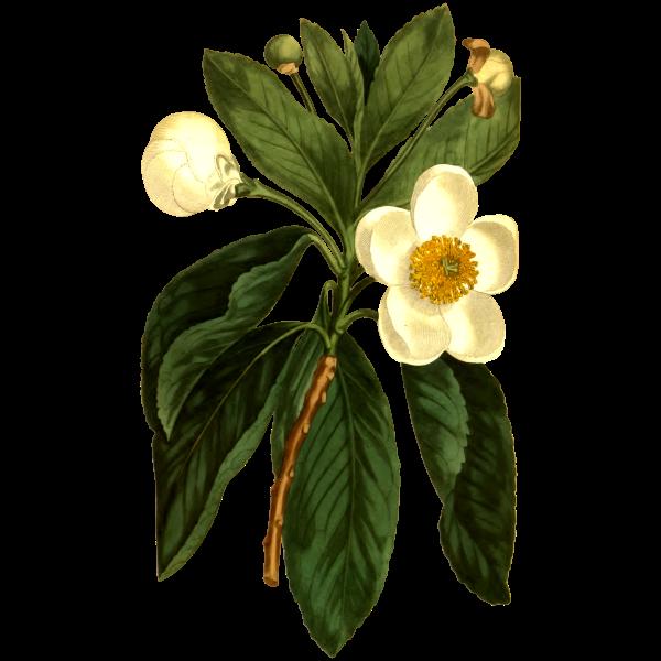 Smooth Gordonia plant