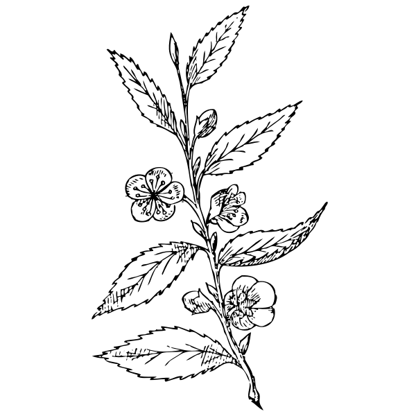 Thea sinesis plant vector illustration