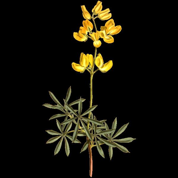 Yellow bush lupine