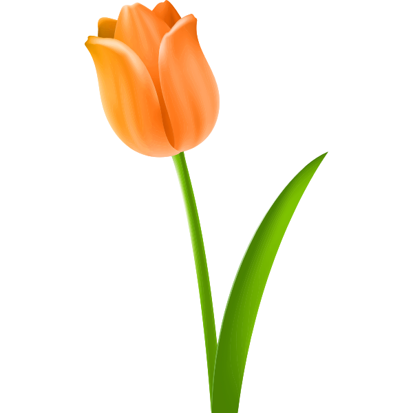Tulip Colour orange