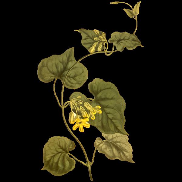 West Coast Creeper Plant