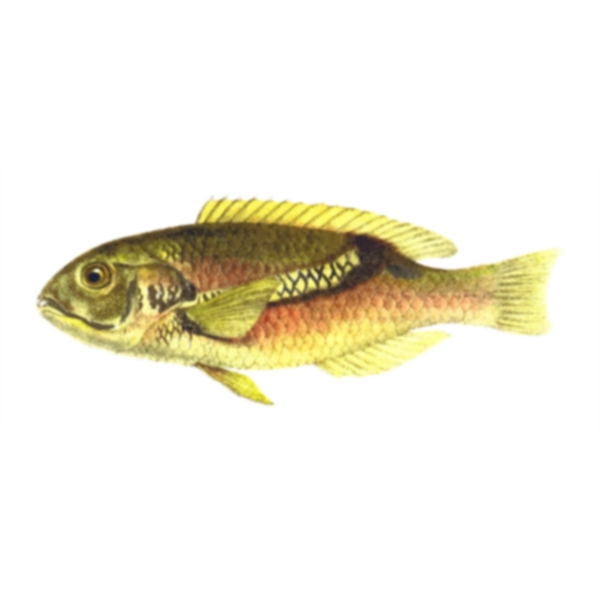 Zoster wrasse