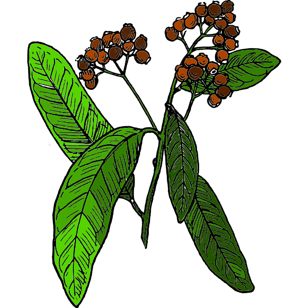 Vector drawing of allspice fruit