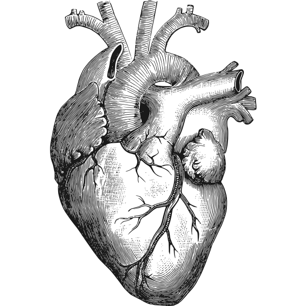 Anatomical heart vector illustration
