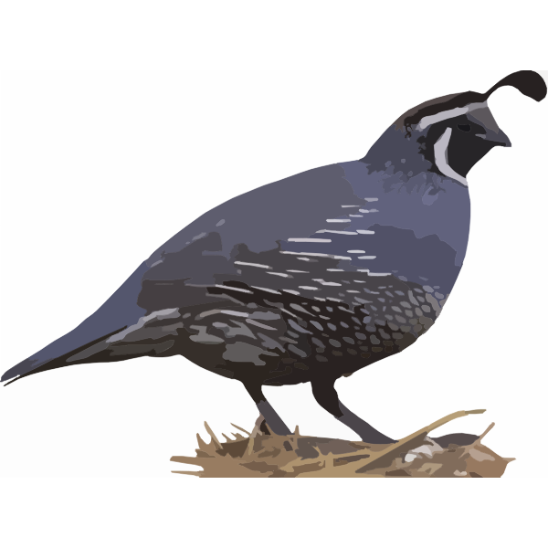 California quail sanding on a nest vector clip art