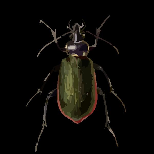 Calosoma scrutator