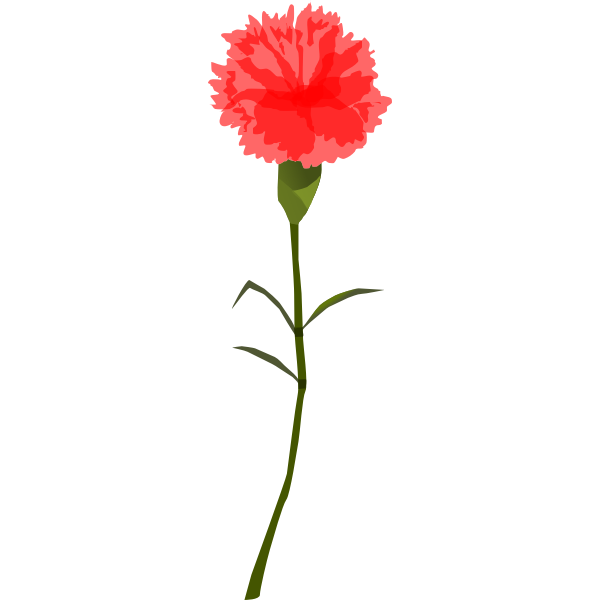 cravo carnation