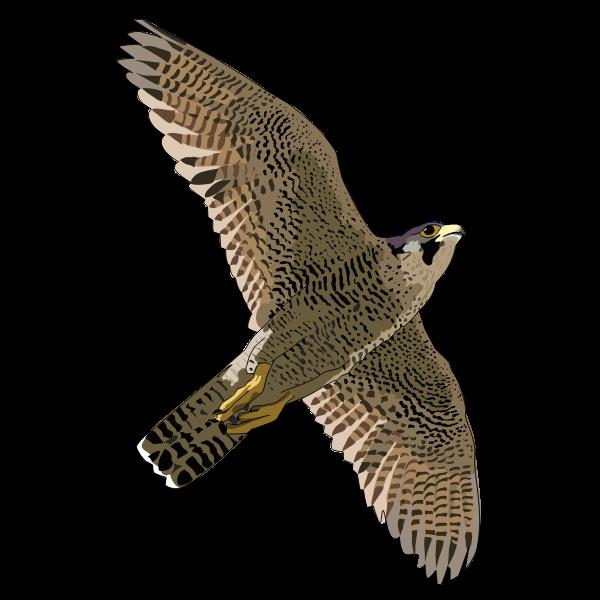 faucon pelerin falcon peregrine