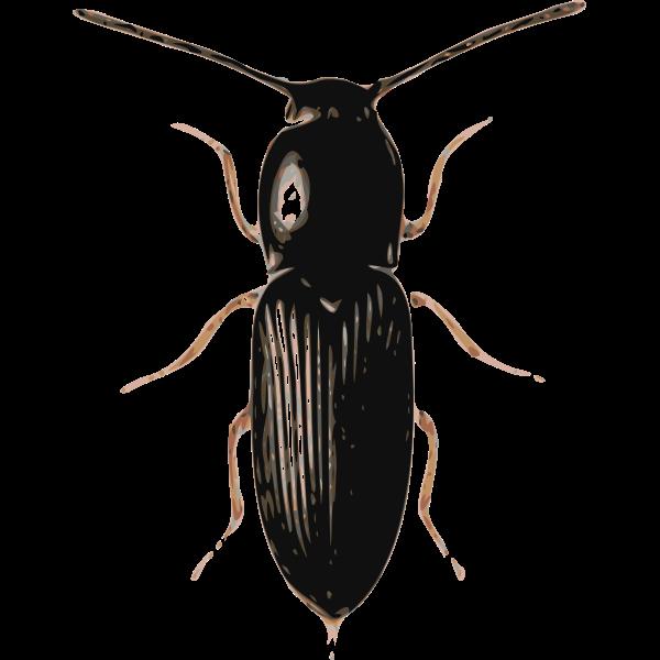 beetle (cardiophorus)