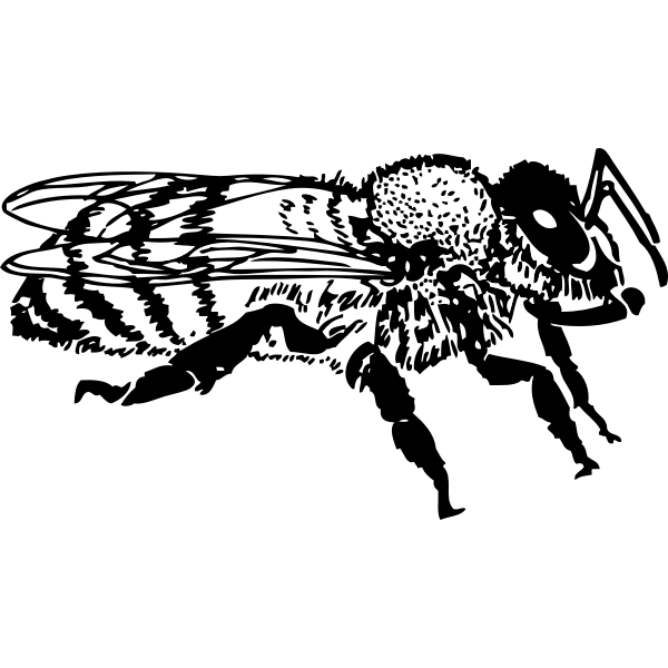 Vector graphics of side view of honey bee