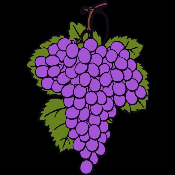 Vector drawing of ripe grapes