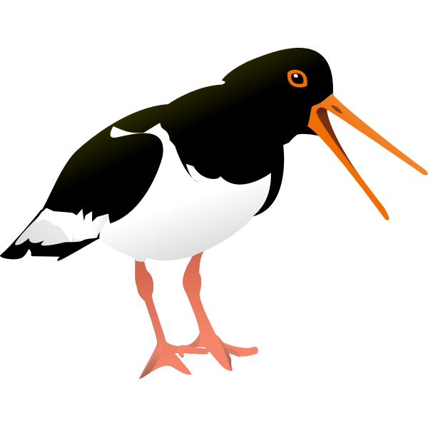 Oystercatcher vector graphics