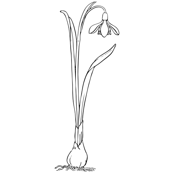 Snowdrop vector image