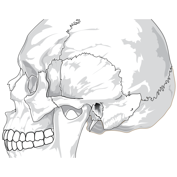 Human skull (side view)