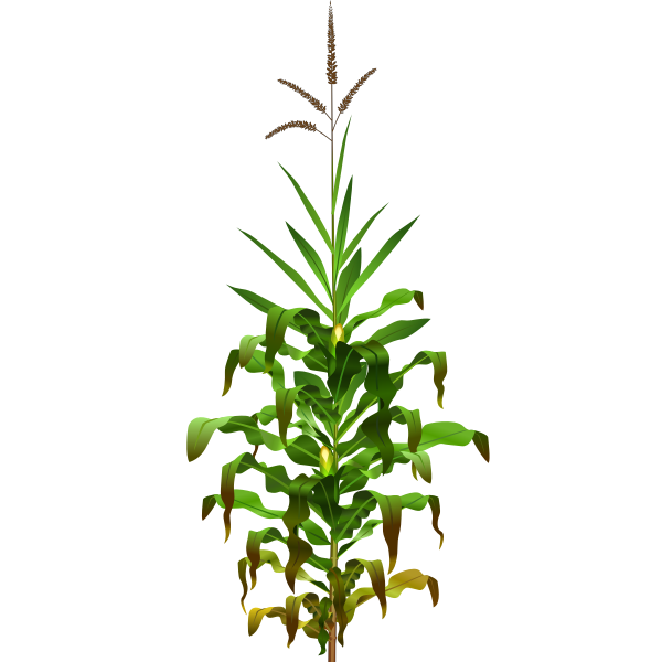 Vector drawing of mais plant with ripe corn