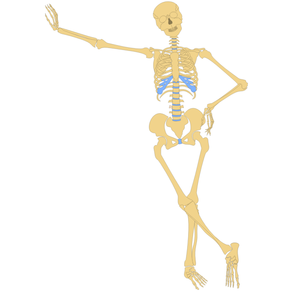 Standing skeleton vector image