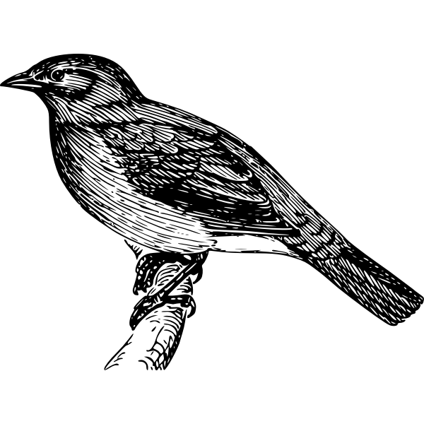 Vector image of bulbul