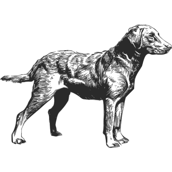 Chesapeake Bay Retriever vector drawing