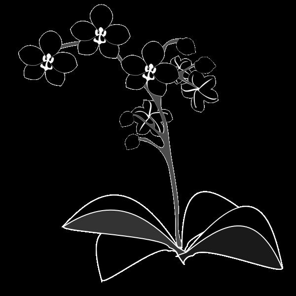 Phalaenopsis - Silueta