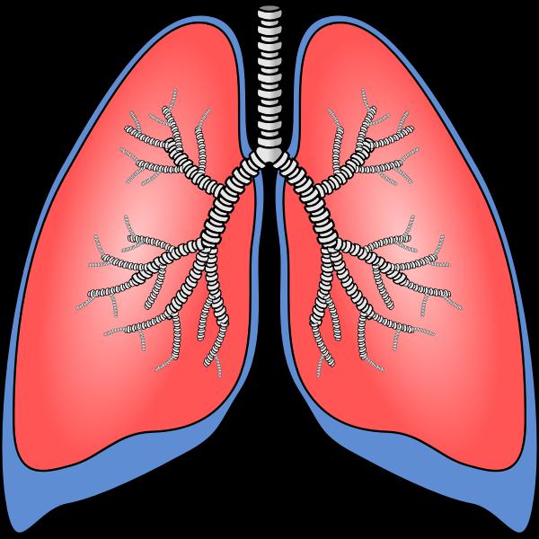 Polmoni - Lungs