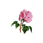 Vector image of pink rose with lots of leaves