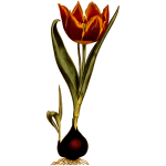 Early dwarf tulip