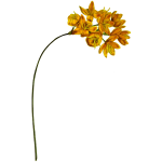 Yellow upright ixia