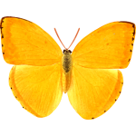 Orange giant butterfly
