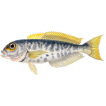 Atlantic goldeneye tilefish