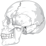 Human Skull Side View By LadyOfHats
