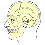 Grays Anatomy Side View Of Head Minus Labels