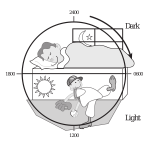 Vector illustration of the 24-hour light/dark cycle