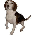 Beagle Medium Version