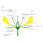 Diagram of flower vector image