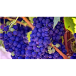 Bright blue grapes