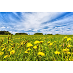 Dandelion Field In Spring