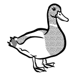 Black and white duck