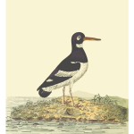 Eurasian Oystercatcher With Background