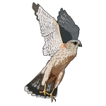 Merlin falcon vector illustration