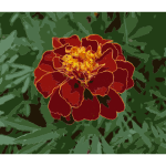 French marigold garden 2009 G1 2016122004