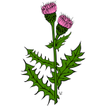 Vector image of cirsium arvense flower