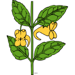 Vector graphics of impatiens aurella plant