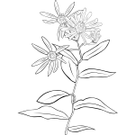 Western Showy Aster vector drawing