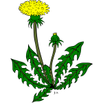 Dandelion flower vector drawing