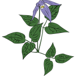 Clematis occidentalis flower