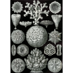 Haeckel Hexacoralla