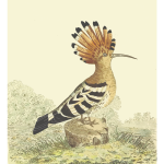 Hoopoe in nature vector drawing