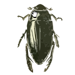 Hydrophilus triangularis